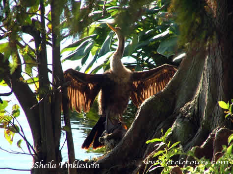 Anhinga - Backlit Wings