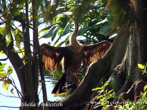 Anhinga - Backlit Wings