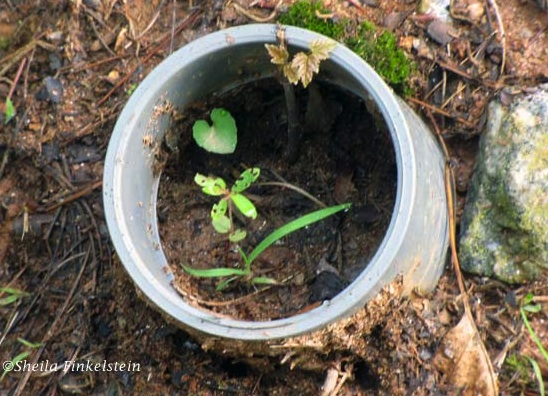 heart-leaf-in-pipe