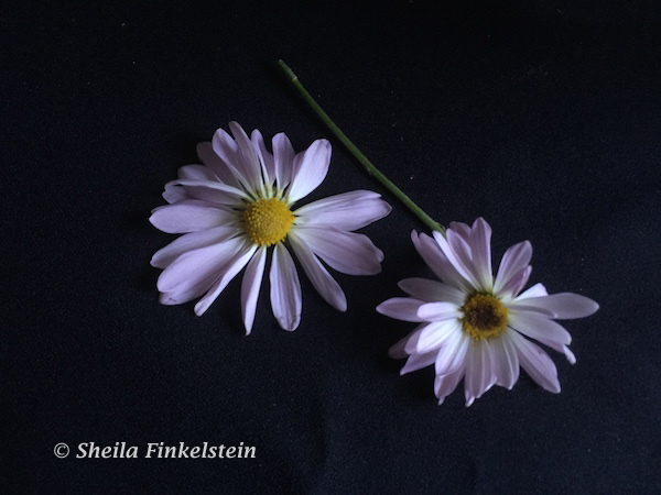 2 lavender daisy flowers removed from the stem resting on a table.