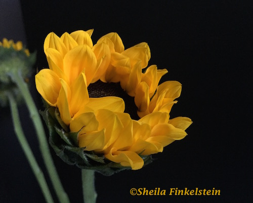 Sunflower opening when released - openings and possibility in http://TreasureYourLifeNow.com