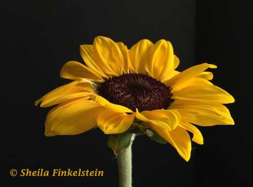 Sunflower opened nearing the end before petals drop - http://TreasureYourLifeNow.com