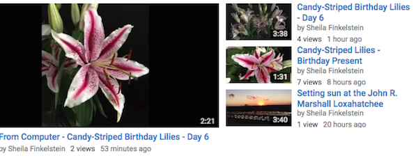 http://TreasureYourLifeNow.com shares Candy Striped Lilies in YouTube Video Playlist