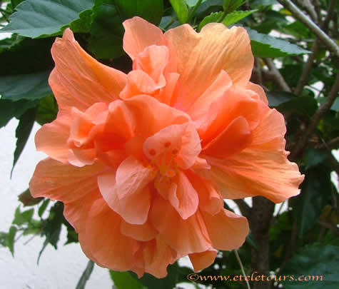 Orange Hibiscus photo by Sheila Finkelstein http://TreasureYourLifeNow.com