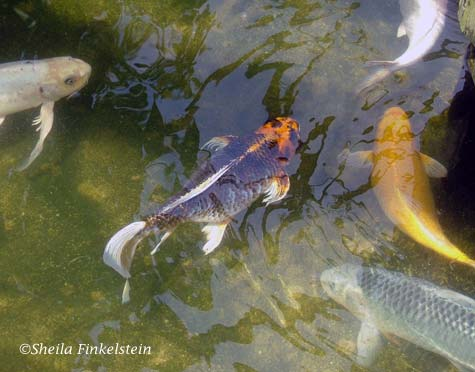 Koi fish swimming aimlessly or is it with focus in Butterfly World