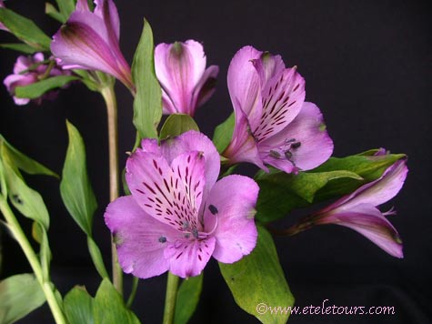 Purple alstroemeria clump of 5