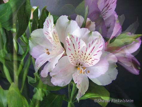 White and Purple Alstroemeria Blended using Photoshop Elements