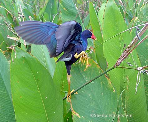 purple gallinule in Wakodahatchee Wetlands - dancing or stuck?