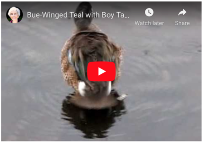 Blue -winged teal swims as boy talks  about something else