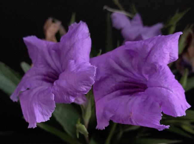 2 Purple Mexican Petunias