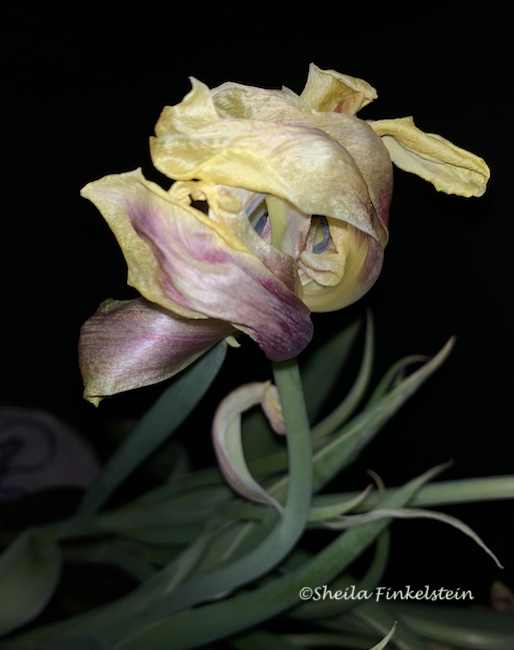 Parrot Tulip with silky appearing petals - Face Image Looking down